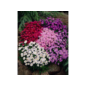 winterharte Stauden - Staude Aster dumosus Kissenaster im Angebot