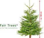 geschlagene Nordmanntanne Fair Trees, ca. 100 cm