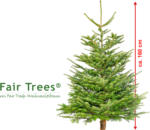 geschlagene Nordmanntanne Fair Trees, ca. 160 cm