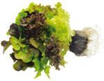 Multicolorsalat mit Wurzelballen
