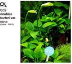 Aquaristik - OK Anubias barteri var. nana (Q02)