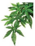 Terraristik - Seidenpflanze Abutilon