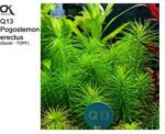 Aquaristik - OK Pogostemon erectus (Q13)