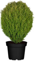 Lebensbaum Teddy, 5-10 cm