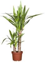 Palmlilie 2er Tuff, 50-100 cm